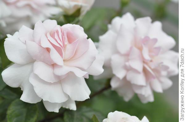 A Whiter Shade Of Palе, TH, Fryers, 2006. Она расцветает светло-розовой, а потом становится чисто белой