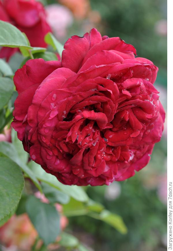 La Rose des Vents, Delbard 2006, Floribunda