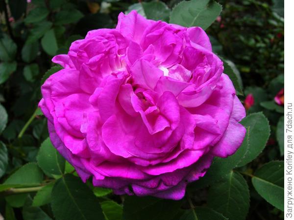 """А ещё из """"голубых""""; очень красивые вот эти две - Reine de Violettes (HI), Historiche Rozen"""