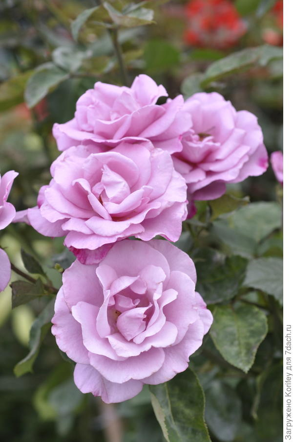 Moody Blue, Fryer's Roses, 2008