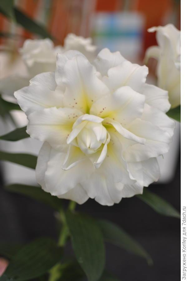 И лилии розы Омника и Рамона