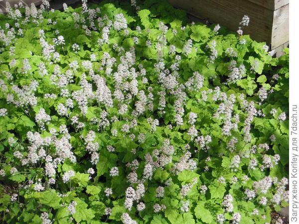 Вместе с тюльпанами можно посадить гейхеры. гейхереллы или тиареллы. Их красивые листья потом прикроют усохшие листья луковичных