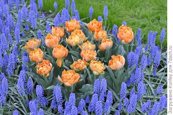 Или кобальтового цвета мускари с оранжевыми низкорослыми махровыми тюльпанами