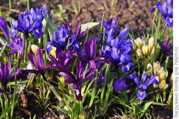 Ирисы сетчатые зацветут у Вас недели за 2.5-3 до начала основного цветения тюльпанов и мускари