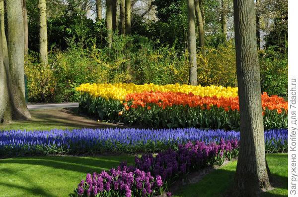 Ручьи и клумбы из синих мускари Армениакум, тюльпанов Orange и Yellow Emperor, а также из темно бордовых гиацинтов