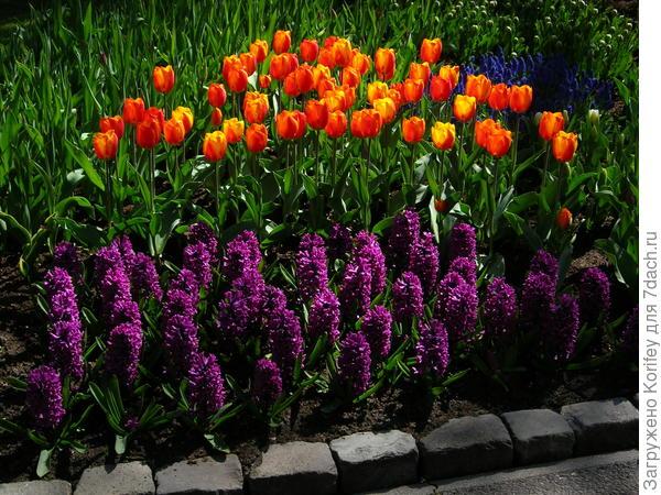 Сорт Woodstock в паре с тюльпанами