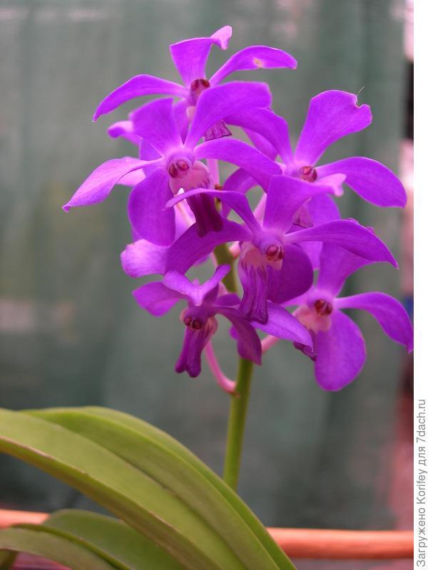 Один из очень красивых сложных гибридов среди орхидей — Васкостилис (Vascostylis). Вид создан путем скрещивания рода Ванда (Vanda), Ринхостилис (Rhynchostylis) и Аскоцентрум (Ascocentrum).