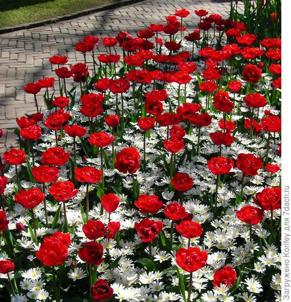 Махровый поздний тюльпан Red Nova и белая анемона бланда (анемона нежная)