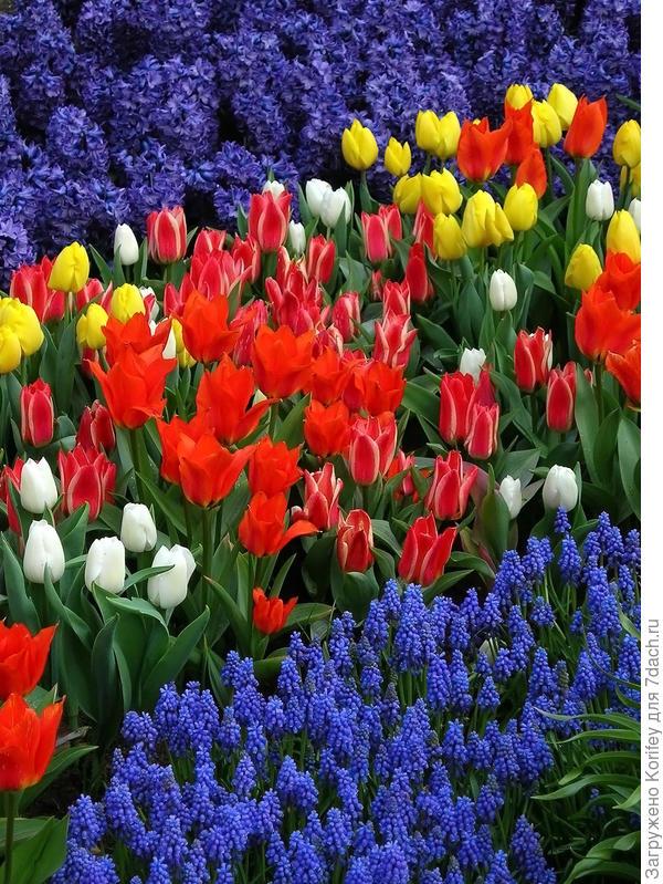 Нарядный сорт Peter Stuyvesant с ранними тюльпанами и мускари