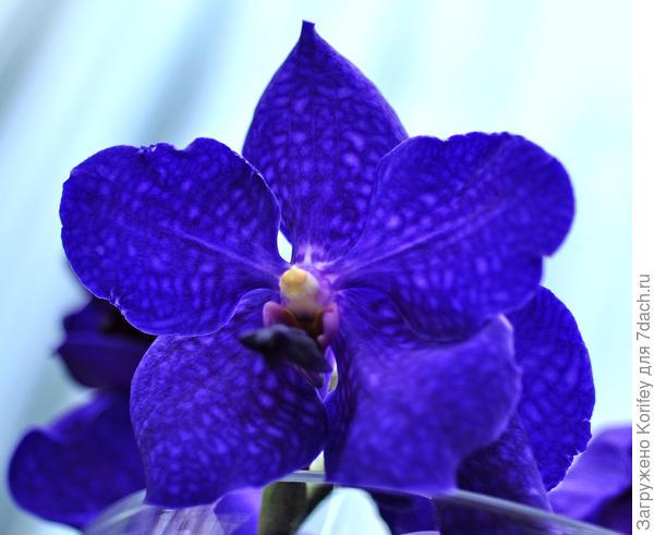 Практически абсолютно синие цветки, чистый синий цвет тоже у Ванд встречается не часто