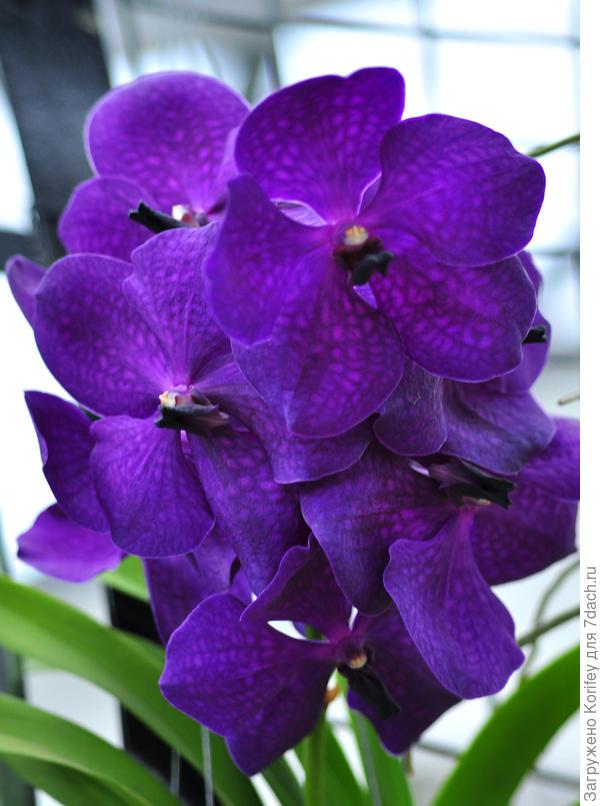 Темно-фиолетовая с более светлыми розовыми вкраплениями