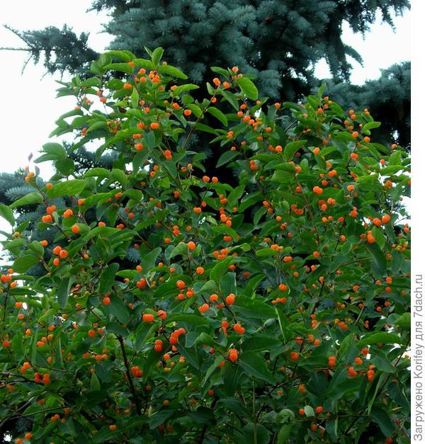 А это Жимолость татарская — Lonicera tatarica