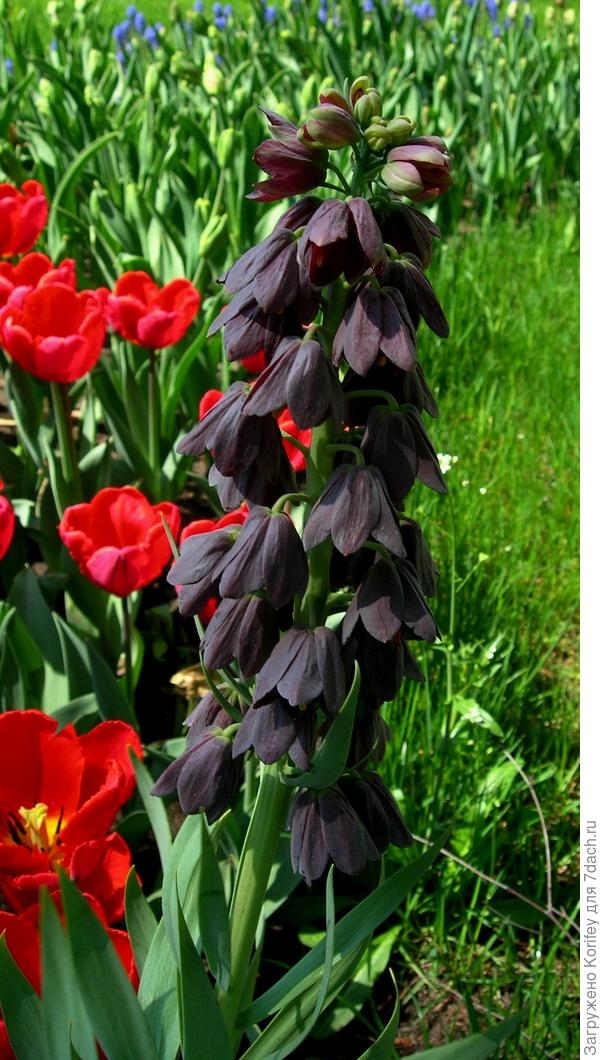 Фритиллярия персидская черная