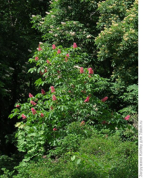 Каштаны с красными и обычными соцветиями