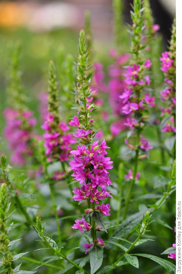 Литрум, он же Дербенник,он же Плакун-трава, от же Lythrum salicaria 'Robert'