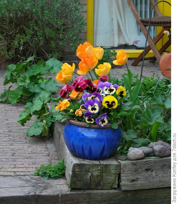 Кашпо с виолами на фоне тюльпанов