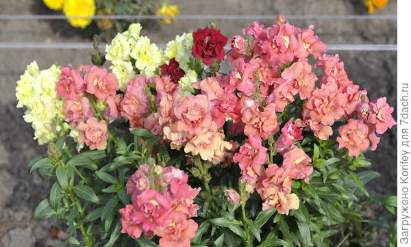 Antirrhinum majus Madam Baterfly Mix F1
