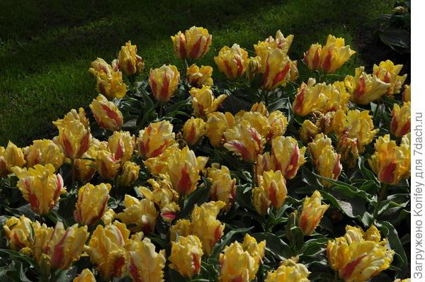 Сорт Zampa Parrot тоже бывает очень часто многоцветковым, особенно если луковицы крупные