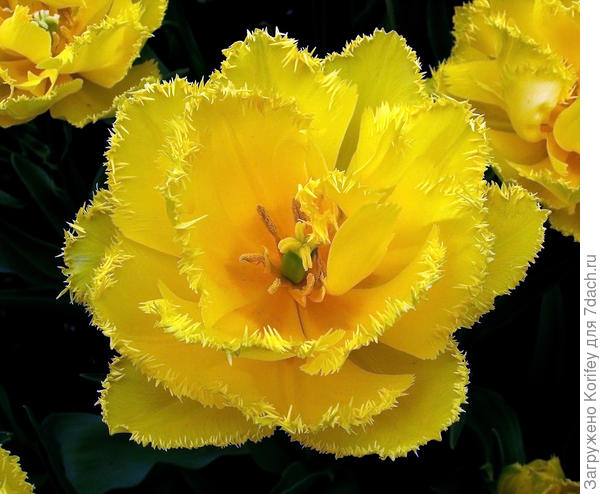 Желтый махровый бахромчатый сорт Exotic Sun