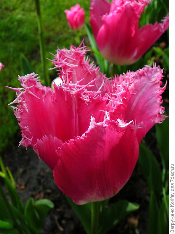 Розовый сорт Fancy Frills