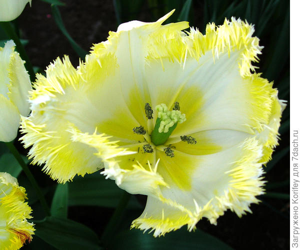 Тюльпан пока ещё без названия, пока у него только номер - TS-1-70