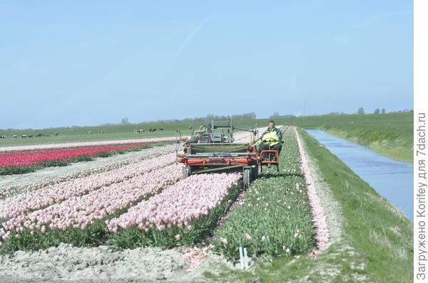 А вот так скашивают бутоны тюльпанов