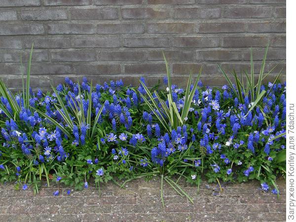 А посмотрите как украшает сад и приусадебный участок обычная смесь из простейших синих мускари и анемоны нежной! ничего супер особенного, все это стоит совсем немного и продается летом в любом садовом центре или магазинчике