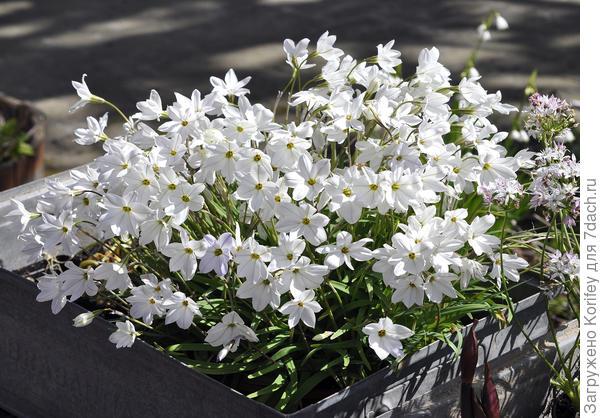 Просмотрите как стильно и красиво смотрится в обычной коробке обычный белый Ифейон!