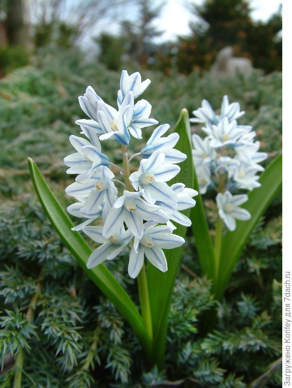 Пушкиния бело-голубая