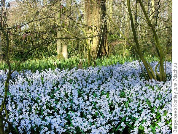 И массовая естественная, хорошо разросшаяся, поляна пушкиний в парке
