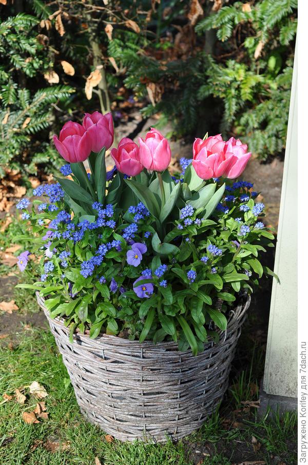 Тюльпаны и самые простые весенники в самой обычной корзине