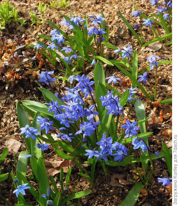Пролеска сибирская синяя, тоже очень красиво выглядит на весеннем сорлнышке