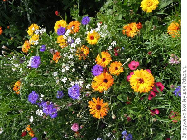 Васильки на цветущем газоне