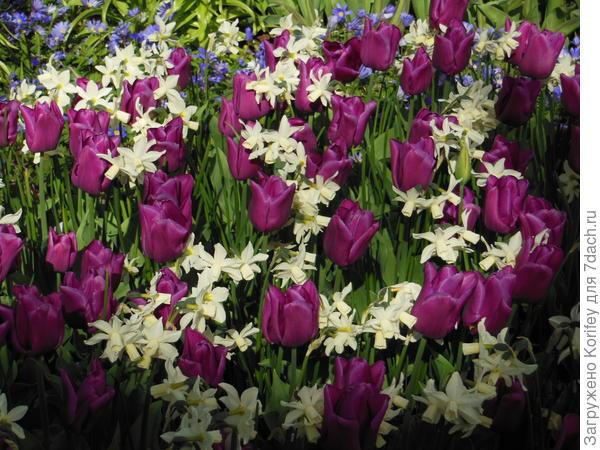 Пурпурные тюльпаны хорошо сочетать с белыми нарциссами Талия. По краю клумбы вполне можно пустить голубую анемону нежную