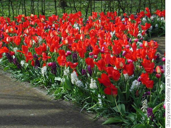 Красные императорские тюльпаны очень красиво смотрятся с белыми и фиолетовыми гиацинтами