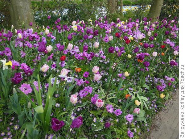 Сочетание розово-пурпурных тюльпанов с розово-сиреневыми хионодоксами, корончатыми и нежными анемонами