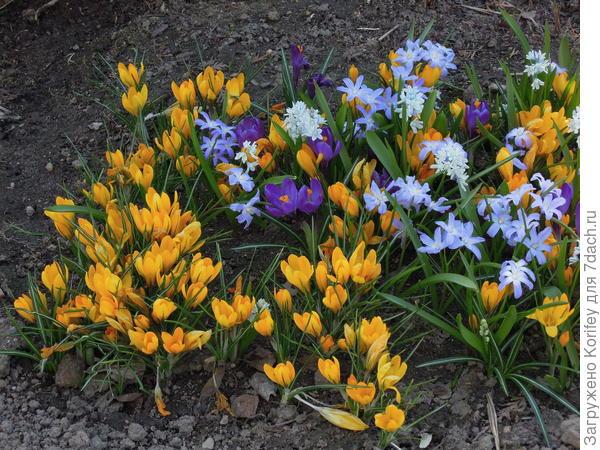 Или вот желтые крокусы можно немного разбавить голубыми хиодоноксами и фиолетовыми крокусами. К ним вполне можно посадить тюльпаны Шоувиннер, они цветут примерно в то же время