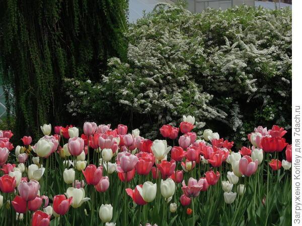 Очень хорошо смотрятся цветущие тюльпаны на фоне плакучих хвойников и цветущей спиреи