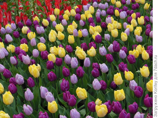 Простые ранние тюльпаны разных окрасок. Совсем необязательно их с чем-то сочетать. Хотя при желании, можно добавить тех же анемон или белых мускари