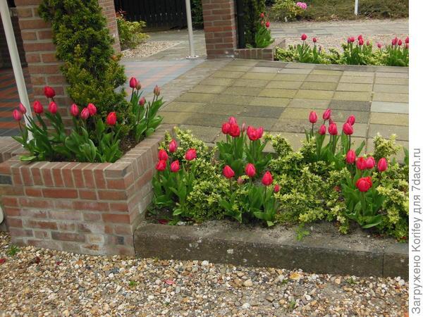 С тюльпанами будут очень даже неплохо смотреться любые вечно-зеленые кустарники.