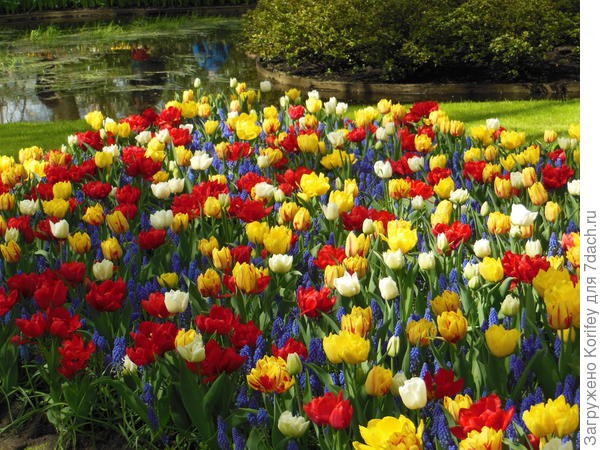 """Ранние махровые тюльпаны в сочетании с """"подшерсткой"""" из голубых мускари"""