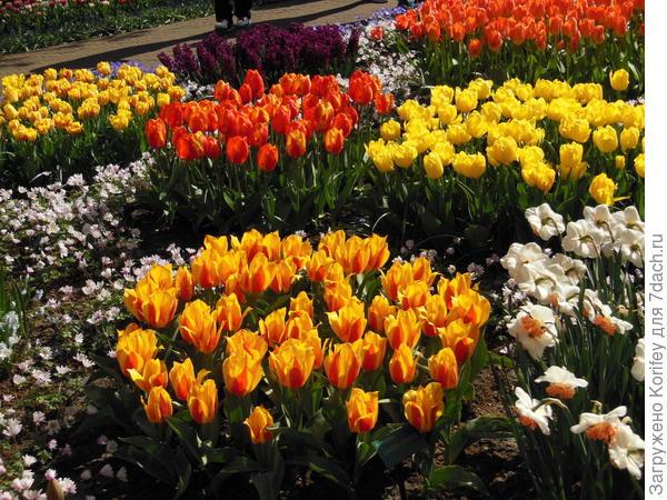 Невысокие ранние тюльпаны хорошо будут сочетаться со своими контрастными собратьями, белыми нарциссами и анемоной нежной, в любом исполнении, неважно какого цвета будут анемоны - голубые или белые