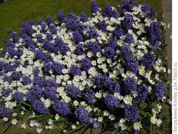 Белые анемоны и фиолетовые гиацинты. Почему бы в эту клумбу не добавить невысоких ярких тюльпанов или нарциссов?