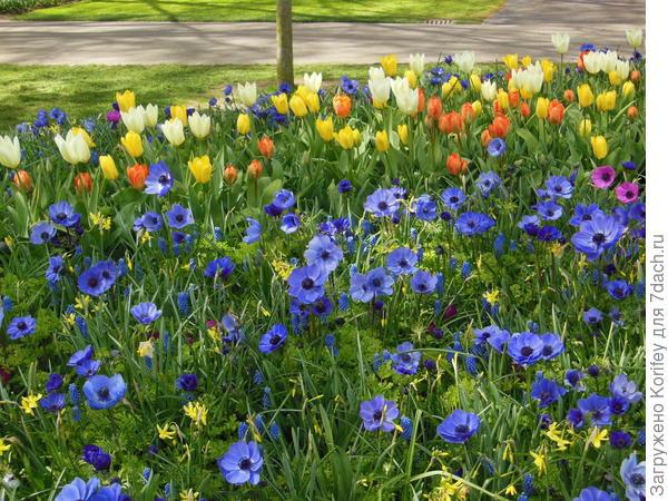 Бело-желтые императорские тюльпаны на фоне синих корончатых анемон