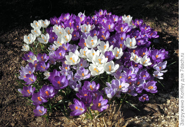 Да и без тюльпанов они и сами по себе смотрятся красиво. А потом из-под них вылезут поздние тюльпаны
