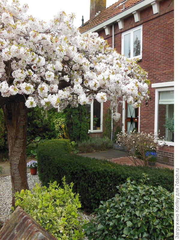 Обильно цветущая декоративная вишня или слива всегда будет уместно смотреться в любом саду