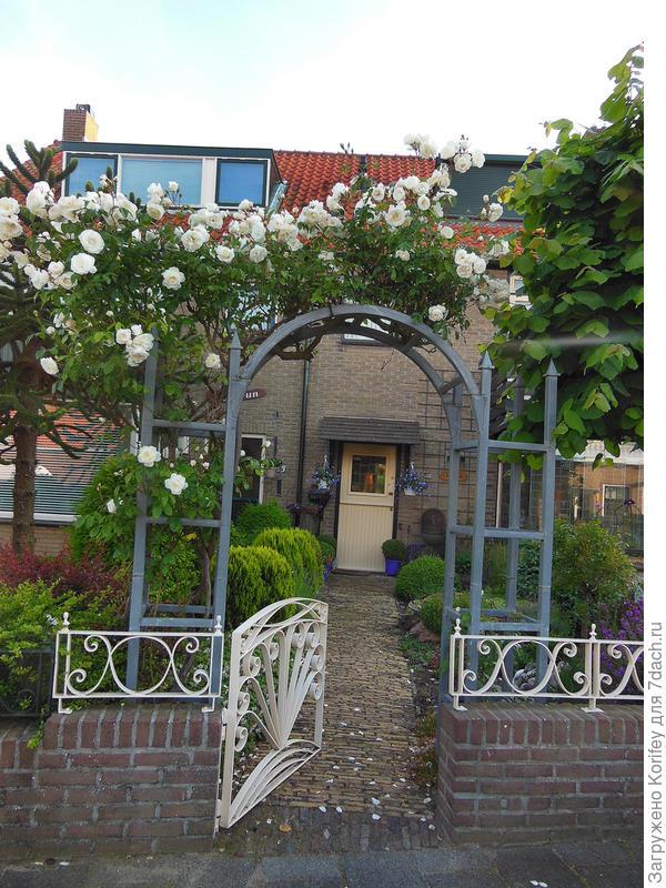 При входе всегда красиво будет смотреться хорошо ухоженная плетистая роза