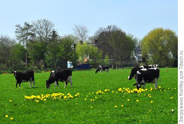 Ну и вот так тоже. Когда -то на этом поле росли тюльпаны. Теперь поле отдыхает и его удобряют эти коровки