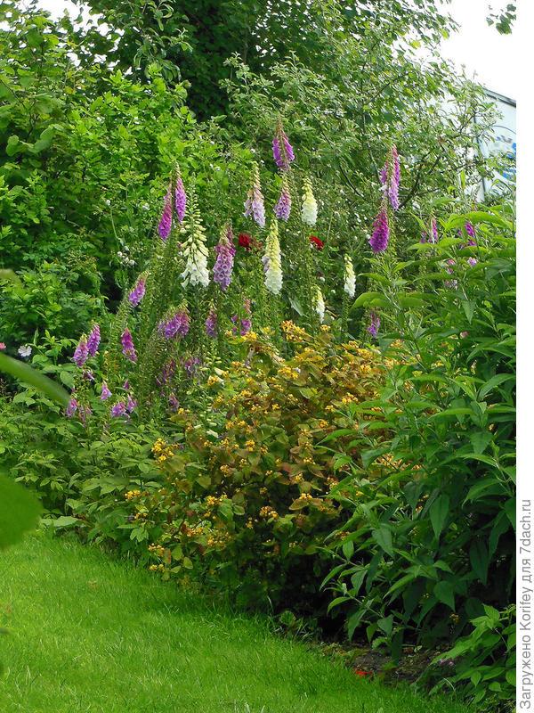 Стройности саду всегда придадут разноцветные мальвы и наперстянки