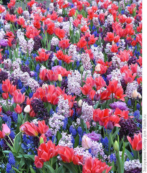 Одна из таких упомянутых смесей из ранних многоцветковых тюльпанов, мускари и гиацинтов. Если будет интерес. выложу ещё пару десятков самых разных и интересных фотографий смесей самых разных луковичных растений.